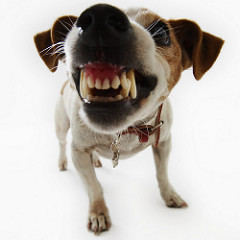 TerrierWithFangs